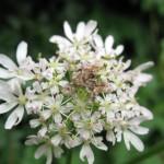Nettle-tap moth Anthophila fabriciana on hogweed